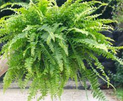 Air Purifying Plants Boston Fern Formaldehyde remover