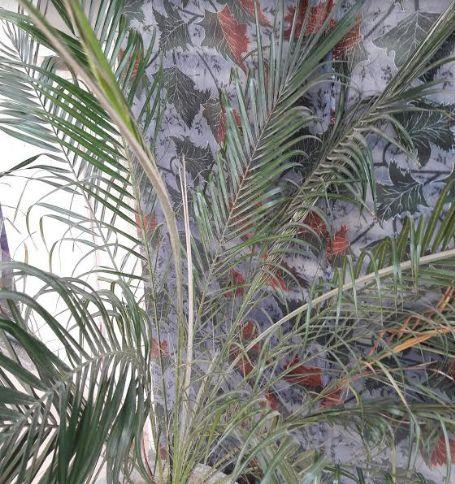 Air Purifying Plants date palm