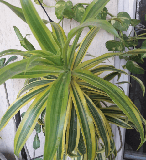 Air Purifying Plants Dracaena Deremensis