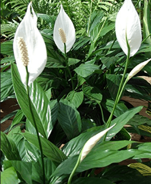 Air Purifying Plants peace lily